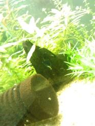 Hydra verde